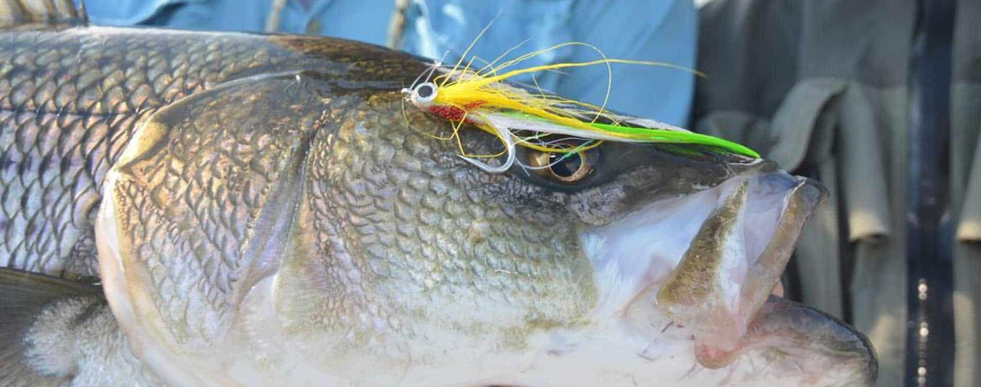 Striped bass closeup fly fishing nh shoals shoals fly for Bass fishing nh